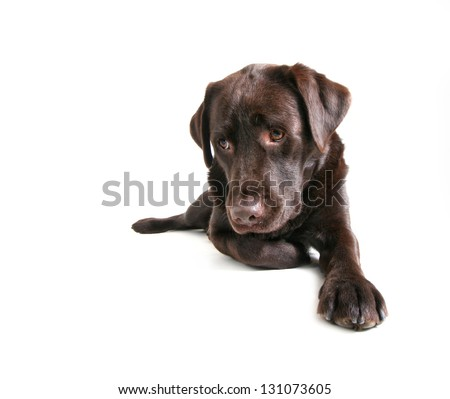 a chocolate lab pouting