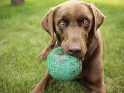 A Chocolate Labrador holds a Green Ball