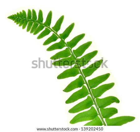 A Christmas Fern frond (Polystichum acrostichoides) isolated on a white background.
