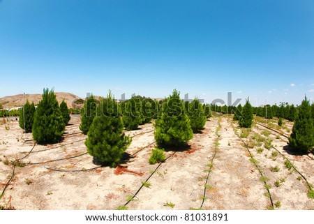 a christmas tree farm in southern california. growing beautiful green pine trees for your holiday christmas tree needs.  shot with a 14mm fisheye lens - tree farm, xmas tree, christmas, holiday