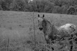 A chromatic photo of a speckled horse in a field of grass and weeds in foreground.