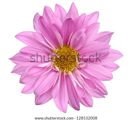 A Chrysanthemum daisy isolated white background
