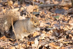 A chubby little squirrel sitting on some leaves on the forest floor in the fall season. They like to bilk up before the winter months. They enjoy eating nuts and seeds. they are all different colors.