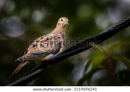 A chubby mourning dove, Zenaida macroura,  perches on an electricity wire in the backyard in the backyard. #1519696541