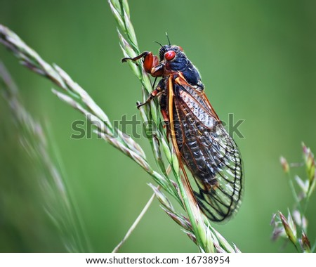 A cicada insect with red eyes on a green background with a blade of grass, commonly called locusts.