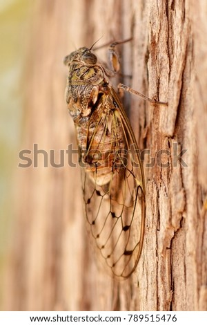 A Cicada on a tree, macro picture