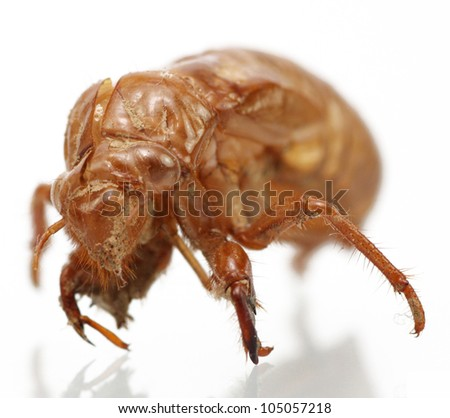 A cicada's shedded and discarded skin