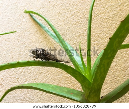 A cicada sitting on an aloe vera; picture taken in Koh Samui, Thailand