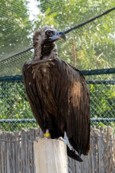 A cinereous vulture (Aegypius monachus) close up in captivity showing feathers and beak. Also called black vulture, monk vulture, or Eurasian black vulture.