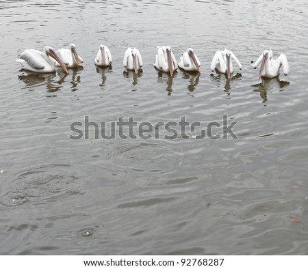 A circle of white pelican floating in a pond. The bird is scientifically known as Pelecanus erythrorhynchos.