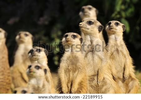 A clan of meerkats standing