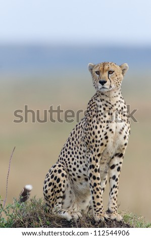 A clean portrait of a cheetah sitting on a termite mound in the Masai Mara in Kenya.