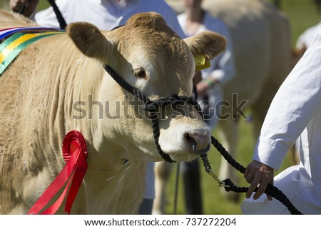 A close image of a Winning  short Horn in a grass arena at a Livestock show #737272204