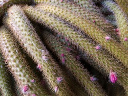 A close look at the green cactus tentacles with spikes and small buds and pink flowers