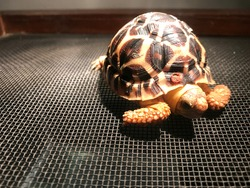 A Close look at the Indian Star Tortoise.
