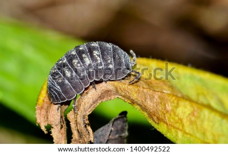 A close macro image of a Pill Bug, or Wood Louse crawling along a dead leaf in Houston, TX.