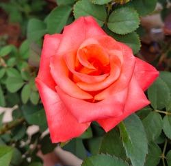 a close macro shot of a redrose