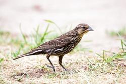 A close shot of a female red-winged black bird in its habitat