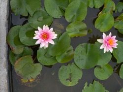 A close shot of 2 beautiful Pink and white Lotus Flower or waterlily  with green leaf in in pond