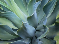 A close-up and detailed photograph of an Agave Plant in Brisbane, Australia.