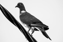 A close up black and white picture of a pigeon bird sitting on an high voltage electric wire.
