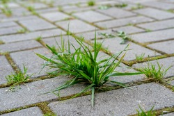 A close-up bunch of green grass and moss grow in the seams between the small cobblestones of the walkway in the garden.