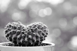 A close up cactus in the shape of a green heart that is cute and beautiful.Gymnocalicium cristata Black and white