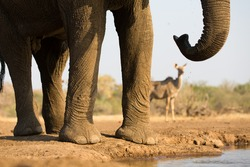 A close up, cropped, horizontal colour image of the body, legs trunk and tail, of an elephant with an out-of-focus kudu doe in the background on Mashatu Game Reserve, Northern Tuli, Botswana.