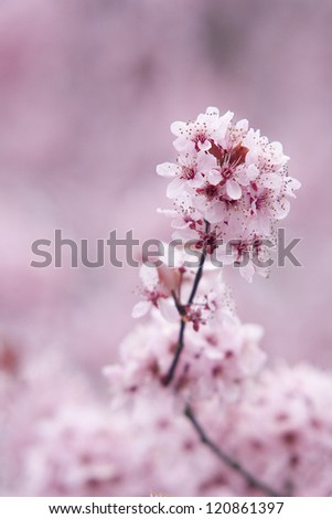 A close-up, detailed view of a pink cherry blossom, set against other pink cherry blossoms in the background. #120861397
