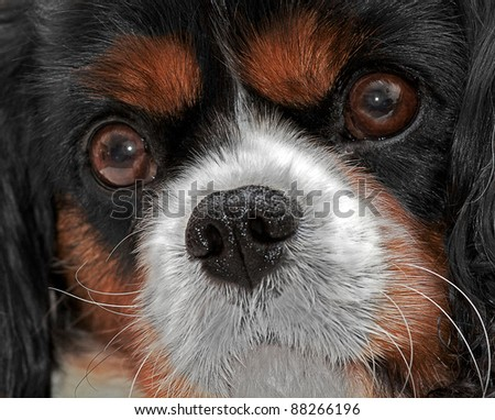 A close up head shot of a King Charles Cavalier Dog