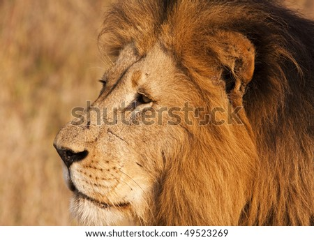 A close-up head shot of a mature male lion (panthera leo) in the wild in South Africa seen while on safari on a game preserve. Scars on his nose show past battles.