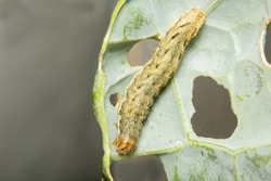 A close up image of a Cabbage Moth caterpillar, Mamestra brassicae  consuming a cabbage leaf in July in the UK.