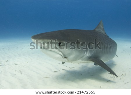 A close up image of a Tiger Shark (Galeocerdo cuvier) swimming underwater - stock photo