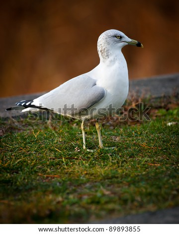 A close-up image of a white, common seagull ( Larus canus - L. canus ) or Mew Gull.
