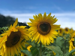 A close up image of large sunflower heads with many more in soft focus in the background. Part of a large sunflower field, these sunflowers will be used to make sunflower oil.
