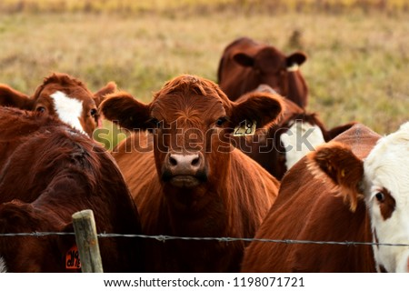 A close up image of red and white faced beef cattle. #1198071721