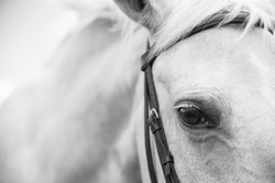 A close up landscape black and white image of the eye, head, and shoulders of a palomino horse