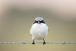 A close-up Loggerhead Shrike perched on barbed wire in front of a smooth out of focus green background.
