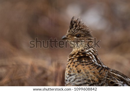 A close-up look at a ruffed grouse. #1099608842
