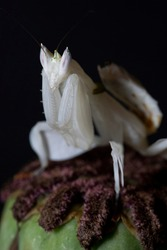 A close up macro phjotograph of an orchid mantis sitting top of a poppy flower bud, which has gone to seed.