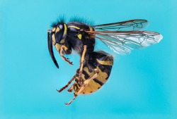 A close up macro shot of a common wasp against a blue background. Taken from a side angle with a lot of the insect in focus.