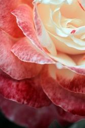 A close up macro shot of a pink rose. Rosebud with pink petals.