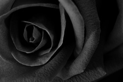 A close up macro shot of a rose,valentine background, black and white