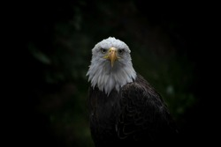 A close up of a bald eagle. The emblem of the United States. A large, powerful bird of prey. The fierce beauty and independence of this bird represents the strength and freedom of America.