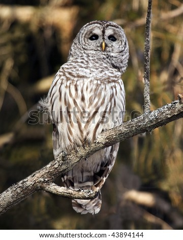 A close-up of a barred owl (strix varia) looking at something in the distance.