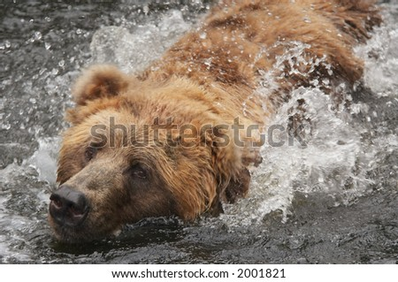 A close-up of a bear swimming in water