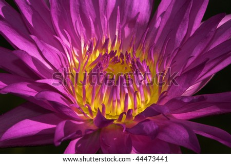 A close up of a beautiful purple and yellow water lilly illuminated by warm Florida sun .