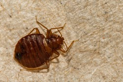 A Close up of a Bed Bug (Cimex lectularius)