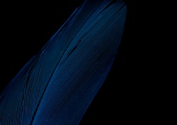 A close up of a bird feather on a black background. The bird species is a Blue and Gold Macaw.
