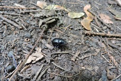 A close-up of a black beetle on the ground in the forest